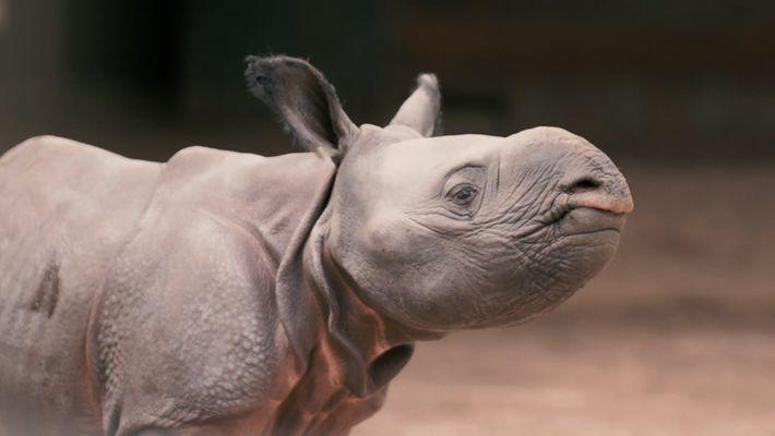 Watch Rare Baby Rhino Toddle Around