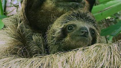Rescuers Reunite Baby Sloth and Mom Using Audio Recordings