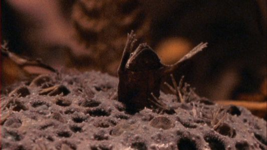 Watch these baby toads break free from their mother's back