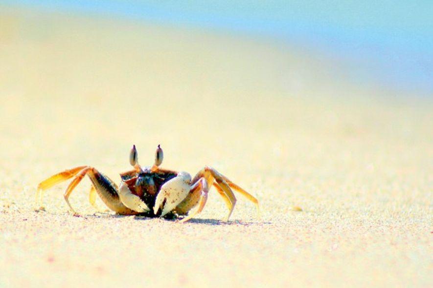 Beach crab, Bamboo Beach, Koh Lanta, Thailand. Image: Getty