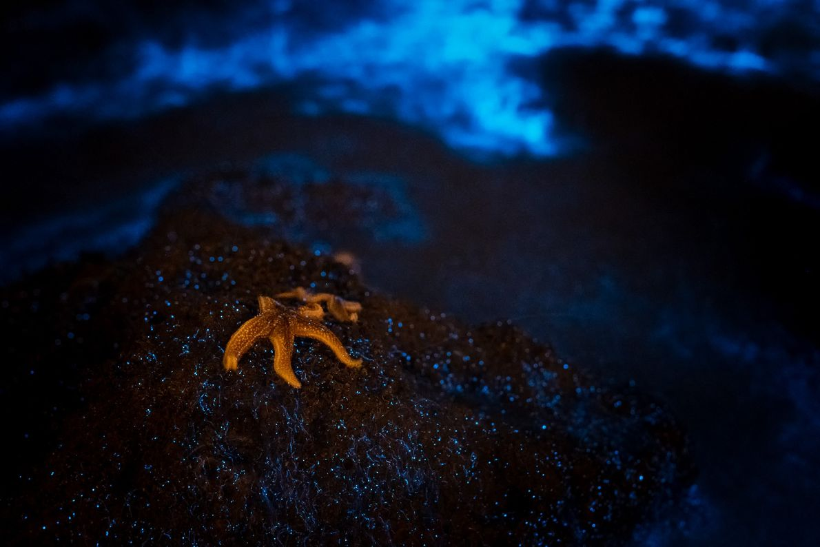 """Alyn Wallace: """"This starfish was basking in the effervescent glow of bioluminescent plankton at Dunraven Bay, ..."""