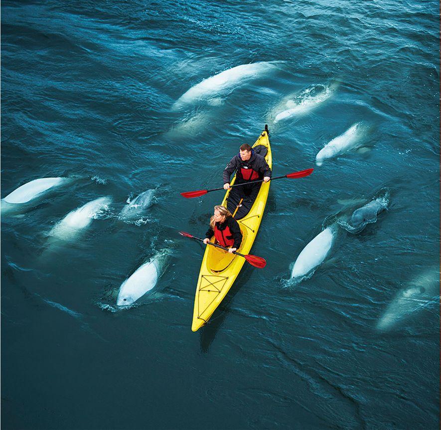 A pod of beluga whales swim alongside a canoe