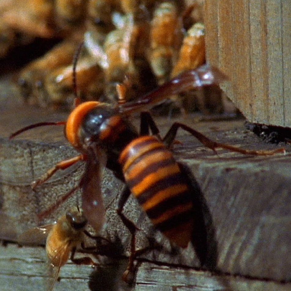 Massive Asian hornets viciously attack a hive of unsuspecting honeybees