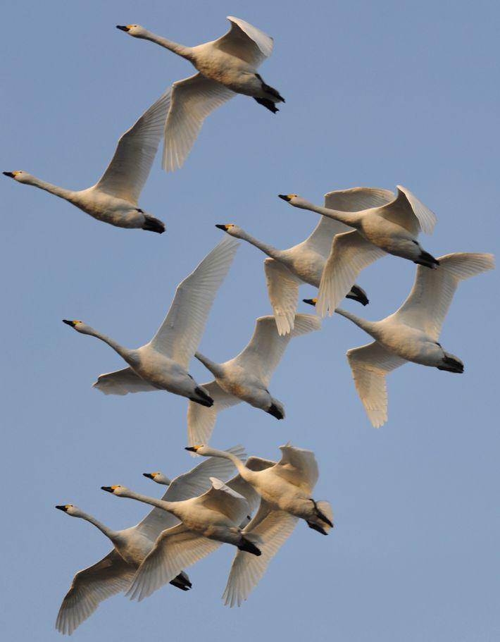 Berwick's swans in flight
