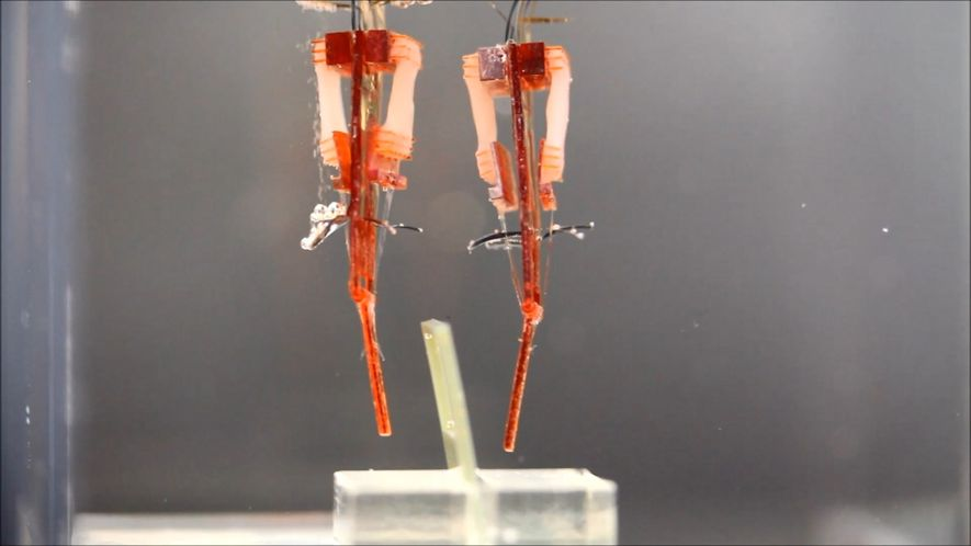 These Robots Use Living Muscle Tissue to Mimic Human Fingers