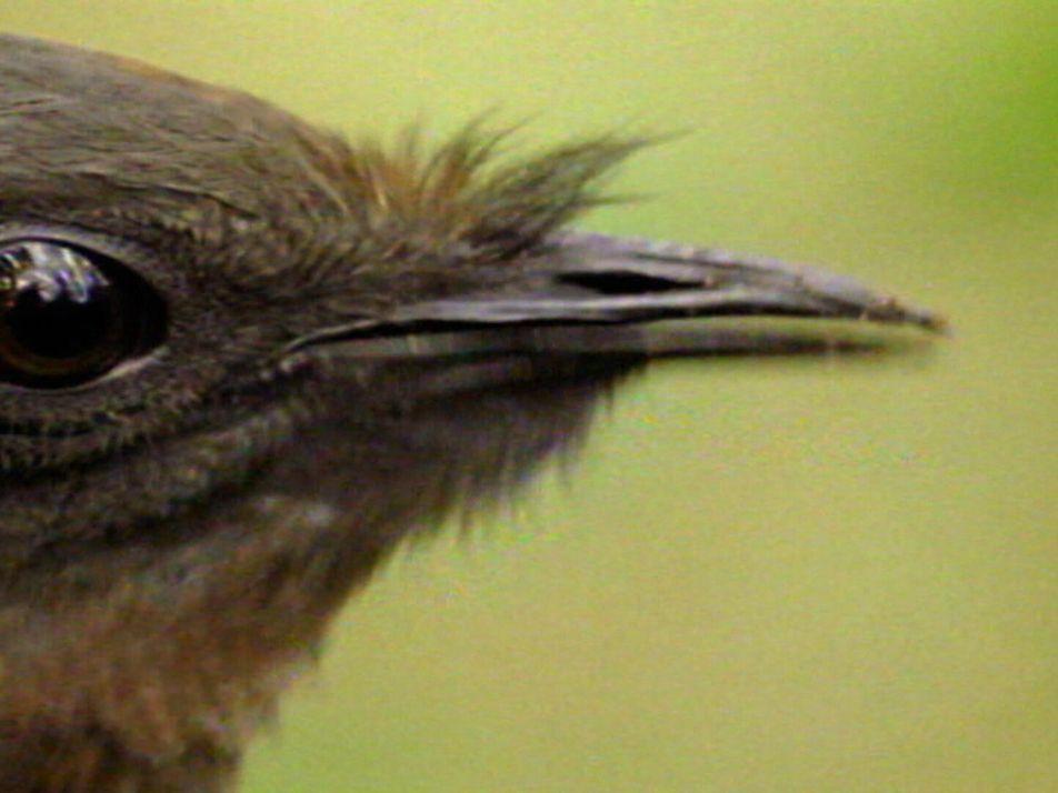 Bird Mimics Chainsaw, Car Alarm and More