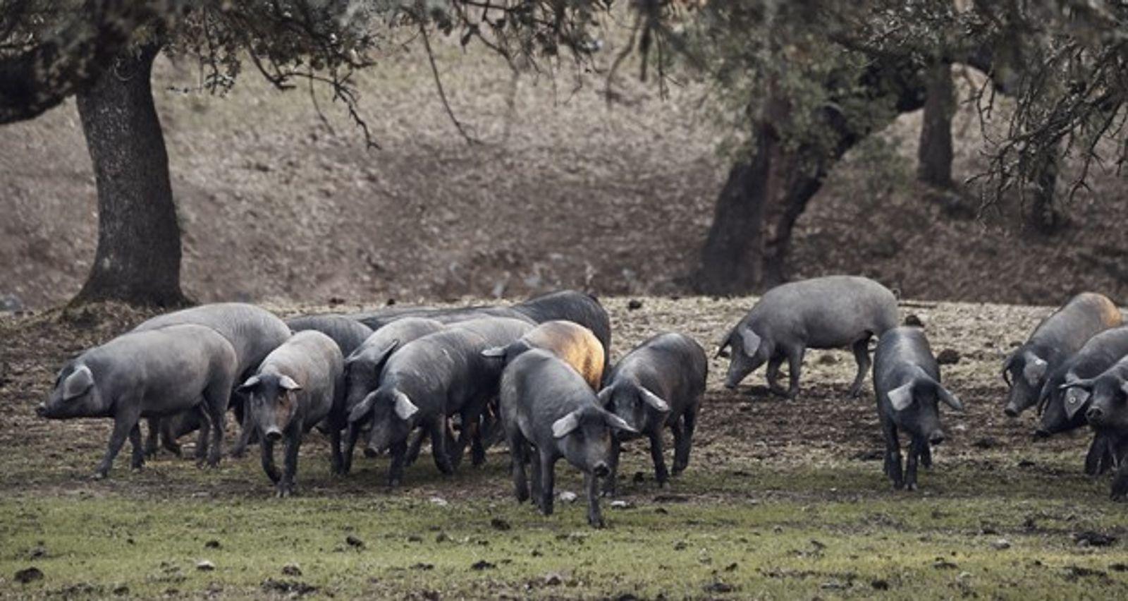 Black Iberian pigs