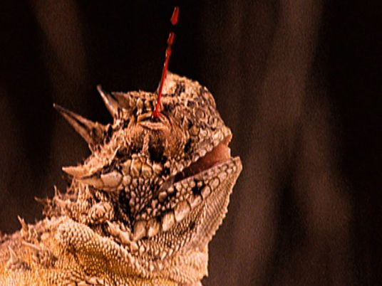 Watch the bizarre and bloody way horned lizards have to repel predators