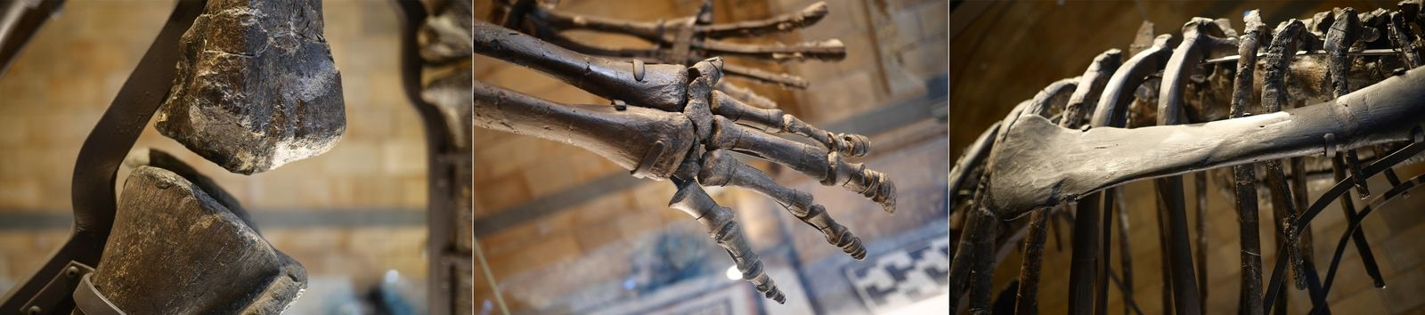 The armature of the fossil dinosaur is subtly visible on display – and has been designed ...