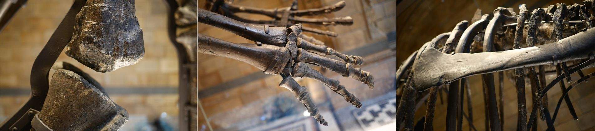 The armature of the fossil dinosaur is subtly visible on display – and has been designed to allow easy assembly and reassembly.
