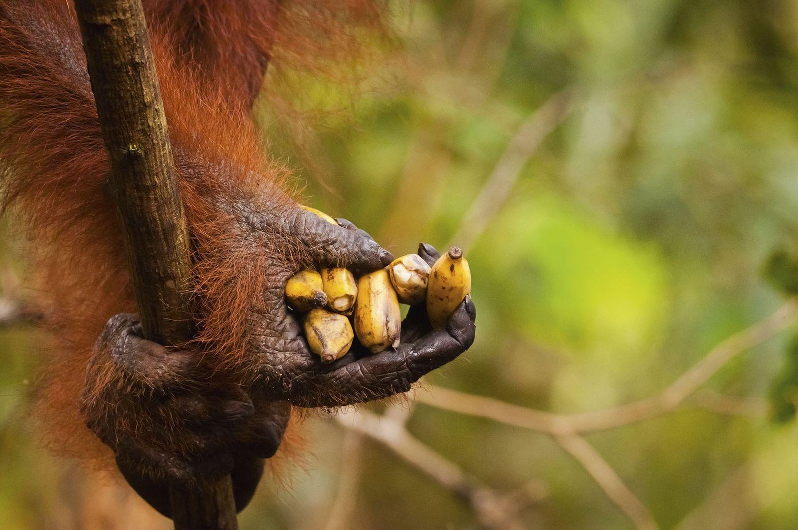 Meet the orangutans of Borneo