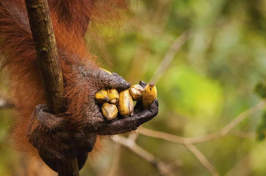 Meet the orangutans of Borneo
