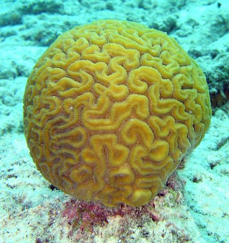 Brain Coral (Diploria labyrinthiformis). Bonaire, 2005