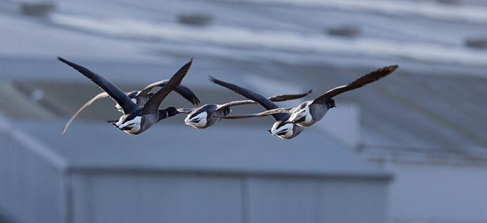 Brent geese, 'Branta bernicla',  flying low in Hampshire.
