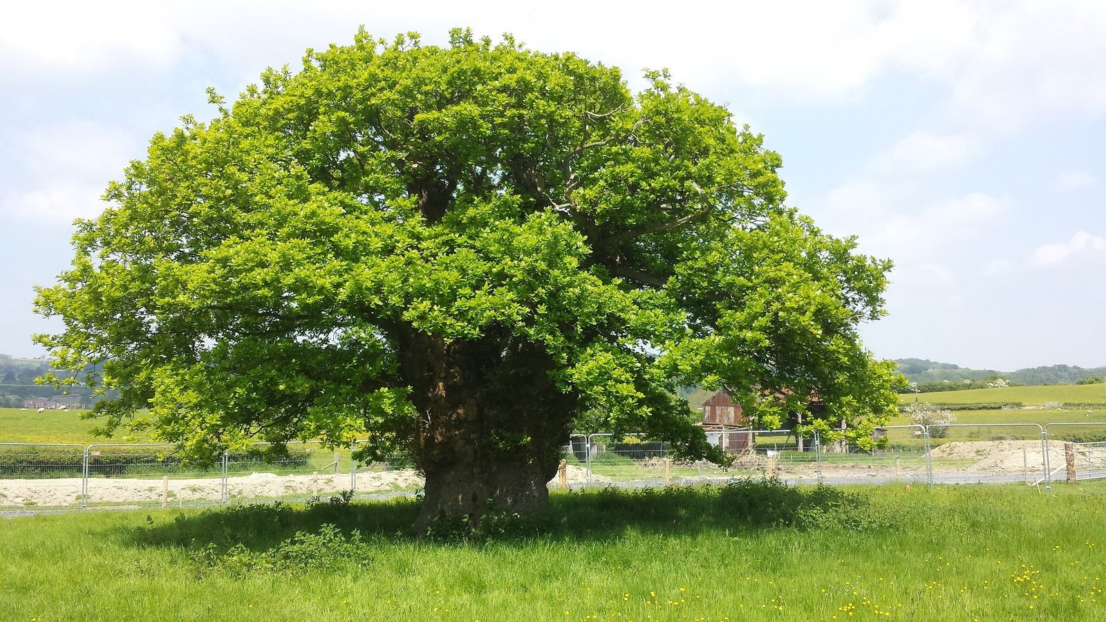 The Brimmon Oak in Newtown, Wales, was the UK's Tree of the Year 2016. A new ...