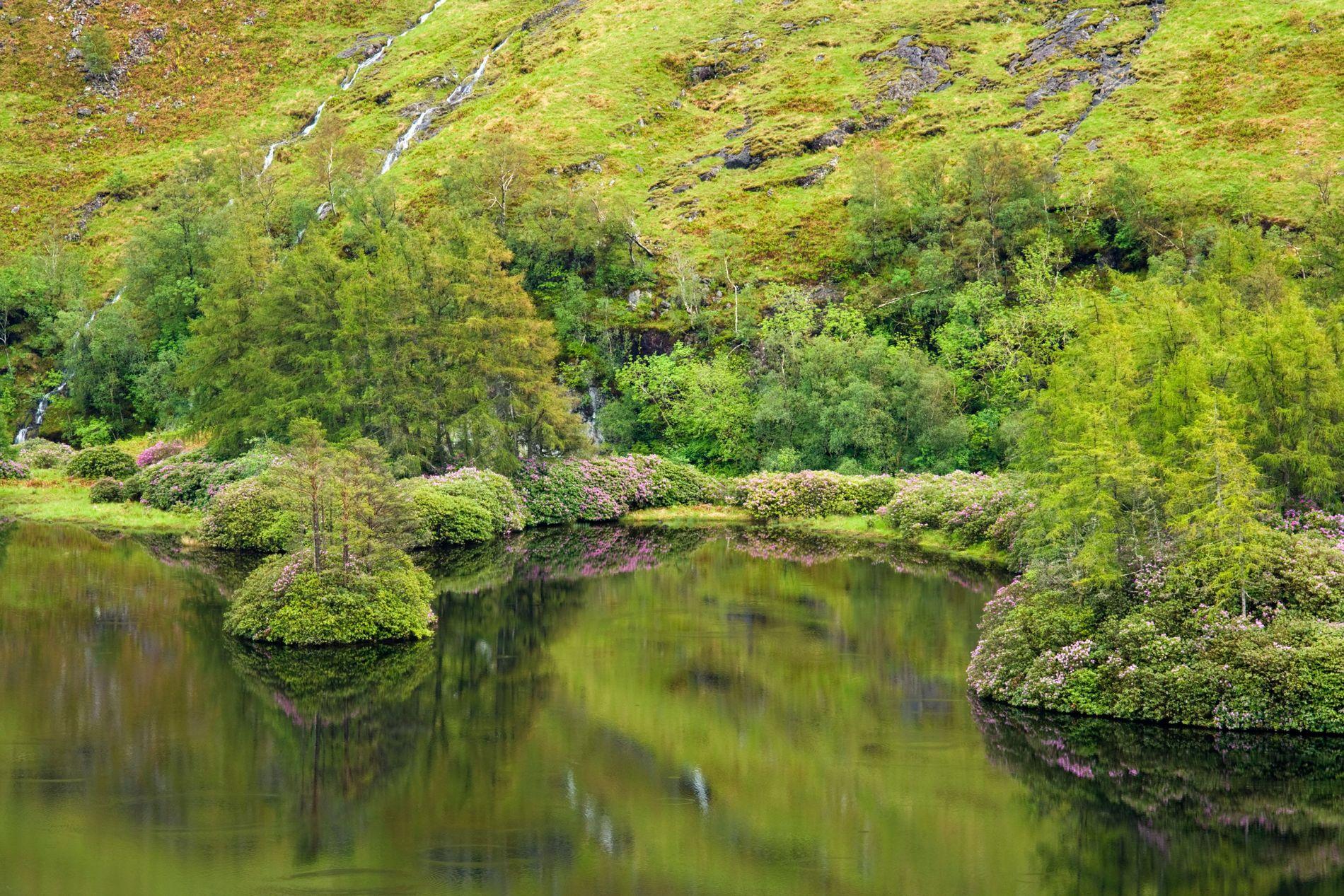 Rhododendron, like purple stars amongst the greenery on the shore of Lochan Urr in Glen Etive, ...