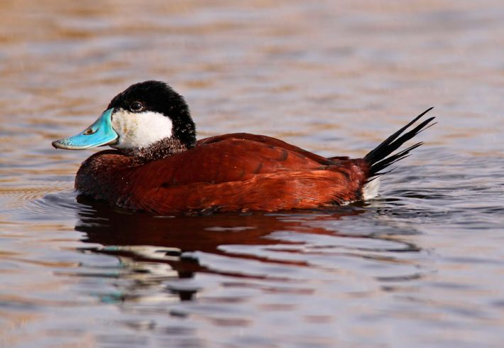 Thought to have established in the UK after being released by collectors, the ruddy duck migrated ...