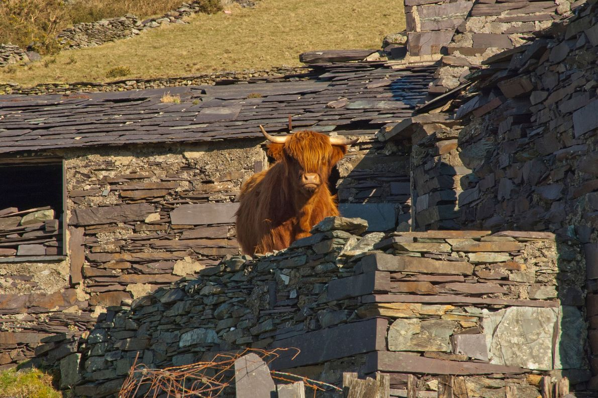 A Highland cow stands in some slate ruins. Slate defines the aesthetic of the region, with ...