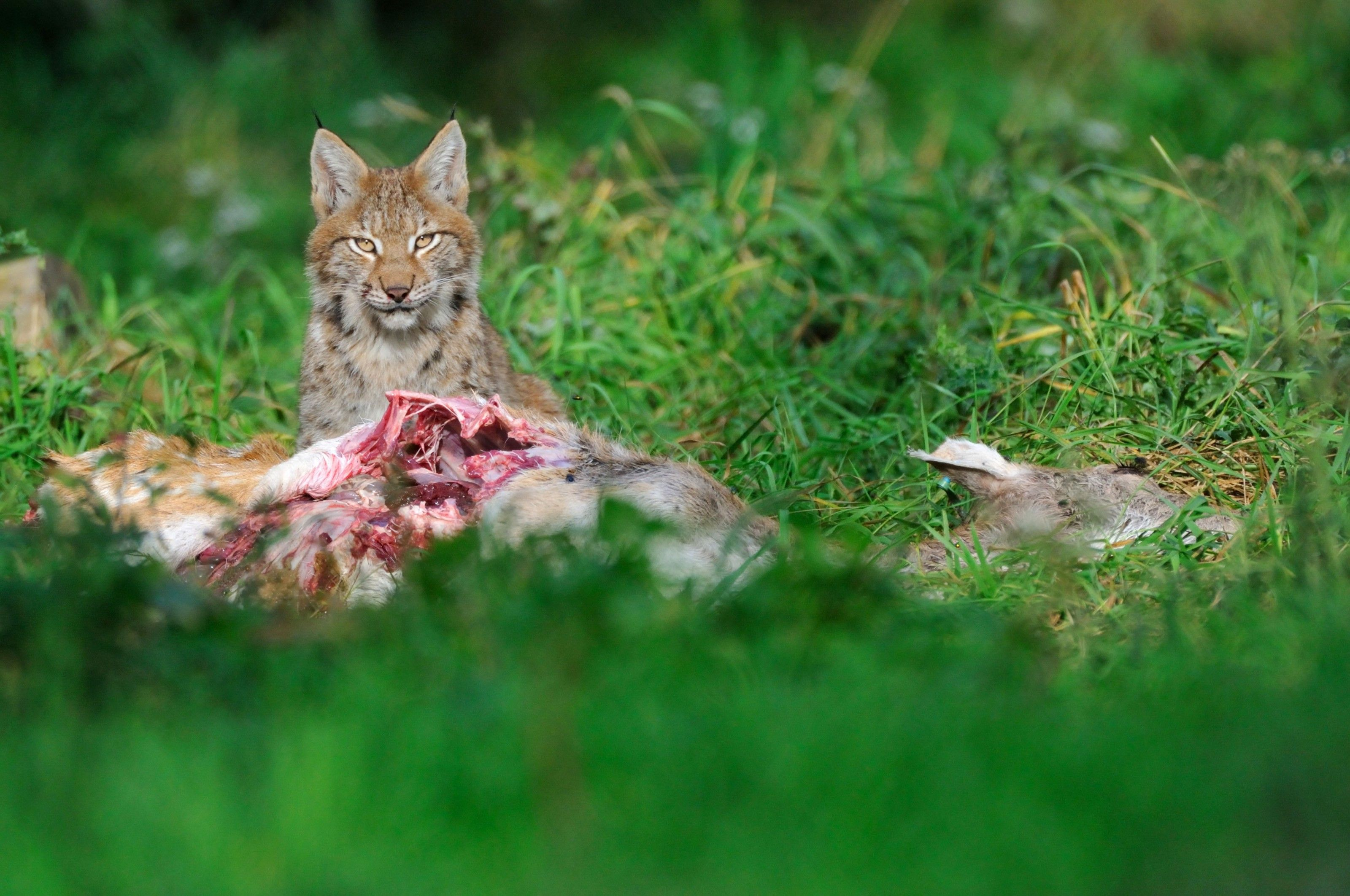 Lynx and wolf may soon be roaming Britain's wild places again. Is it a good idea? | National Geographic