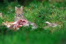 A Eurasian lynx feeds on a deer. Overpopulation of deer causing overgrazing is one of the ...