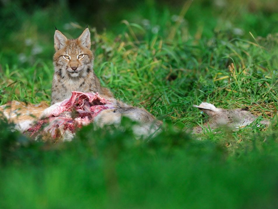 Lynx and wolf may soon be roaming Britain again.        ...