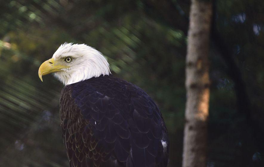 Bald eagle at Refuge Pageau, a rehabilitation centre for wild animals near Amos