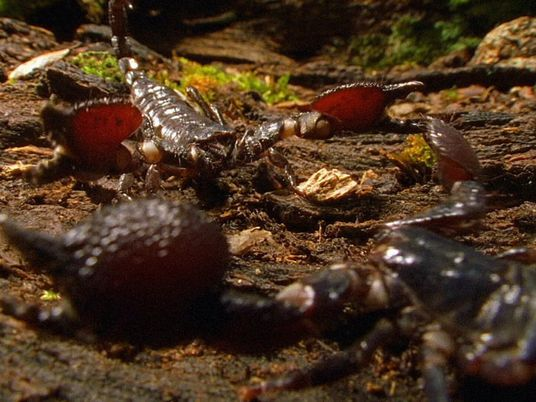 Video: Cannibal Scorpions Fight to the Death