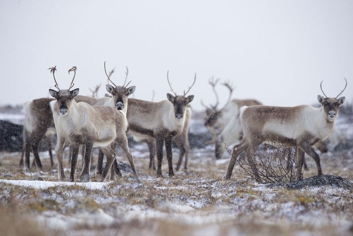A herd of caribou.