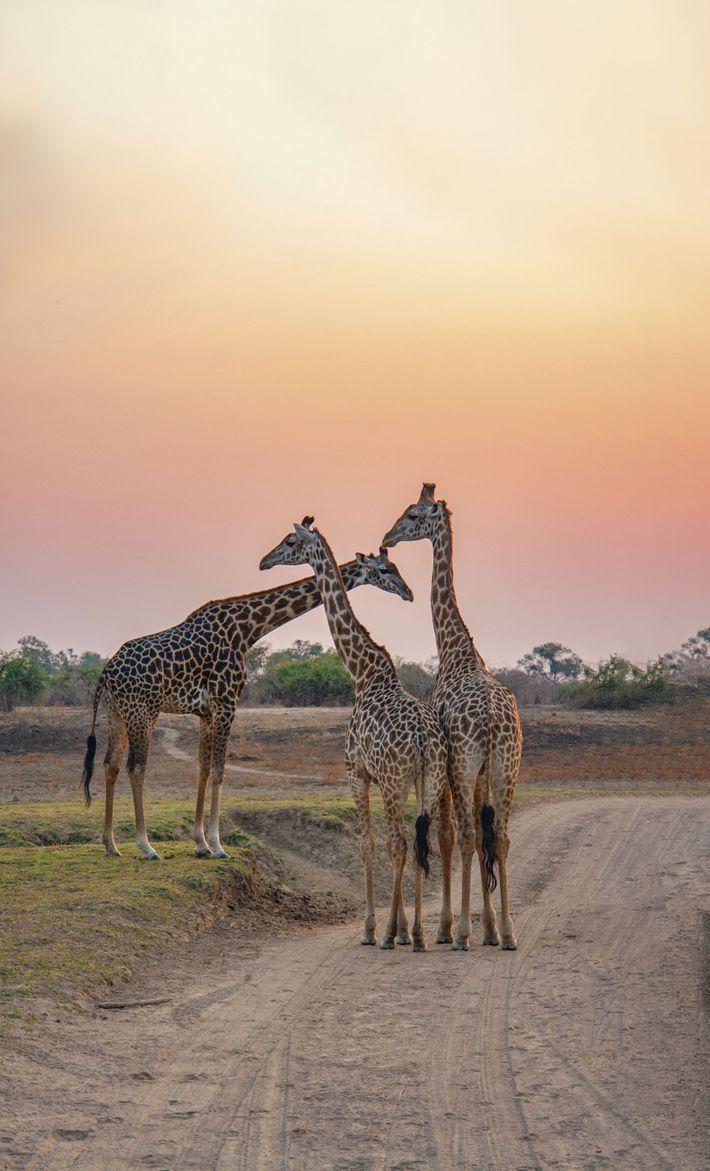 Giraffes, Maasai Mara National Reserve.