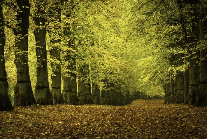 The double-deep, two-mile long Lime Tree Avenue in Clumber Park, Nottinghamshire.