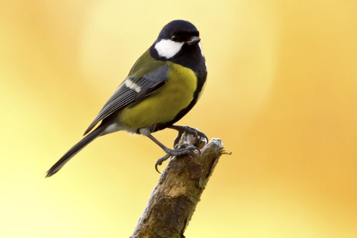The coal tit is similar in size to the blue tit though it has much more ...