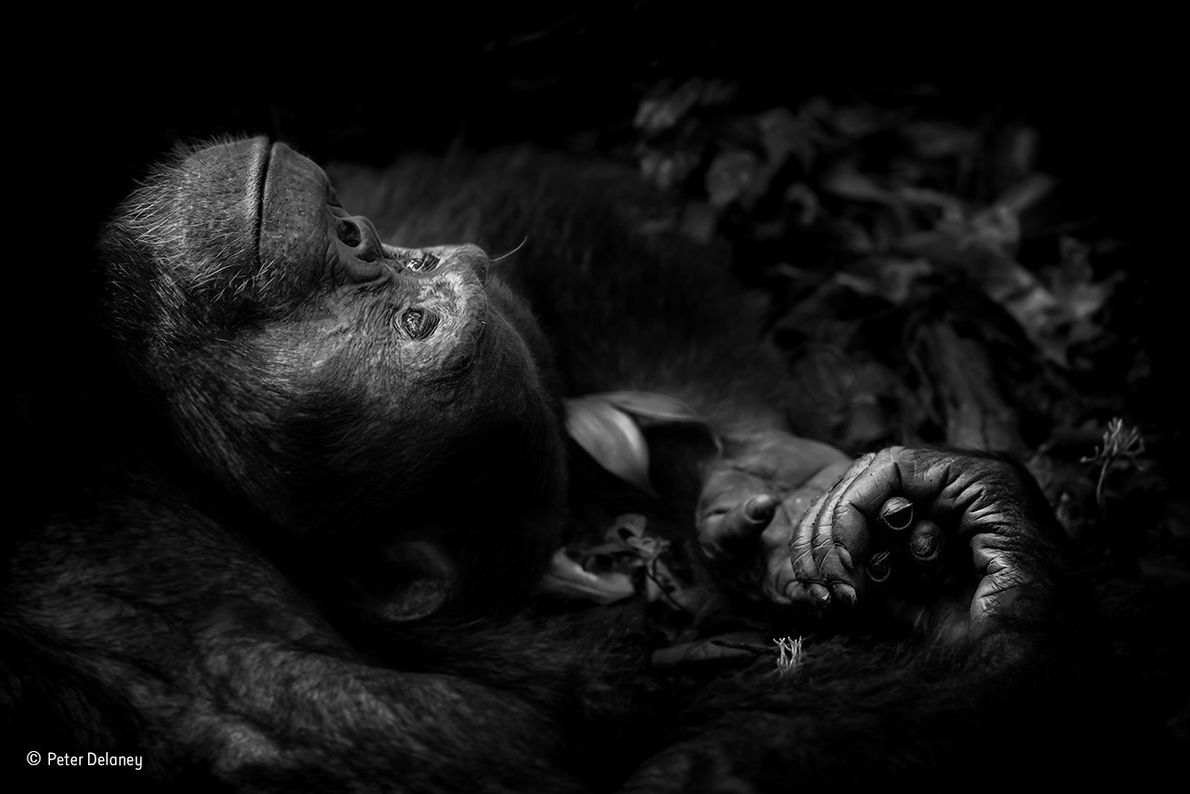 Totti is part of a troop of some 250 chimpanzees living in Uganda's Kibale National Park. ...