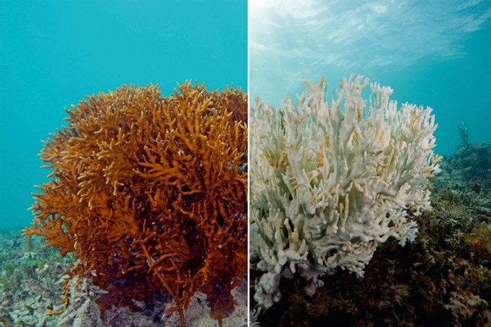 Coral bleaching — before and after.