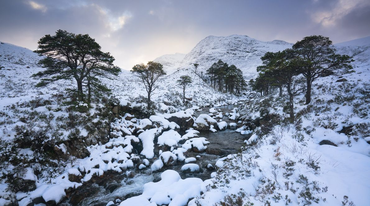 Scots pine trees in winter, Coulin Hills