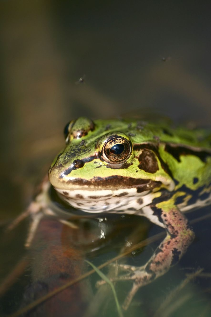 Giant river frogs are a delicacy for the Iban tribe, who set off at night in ...