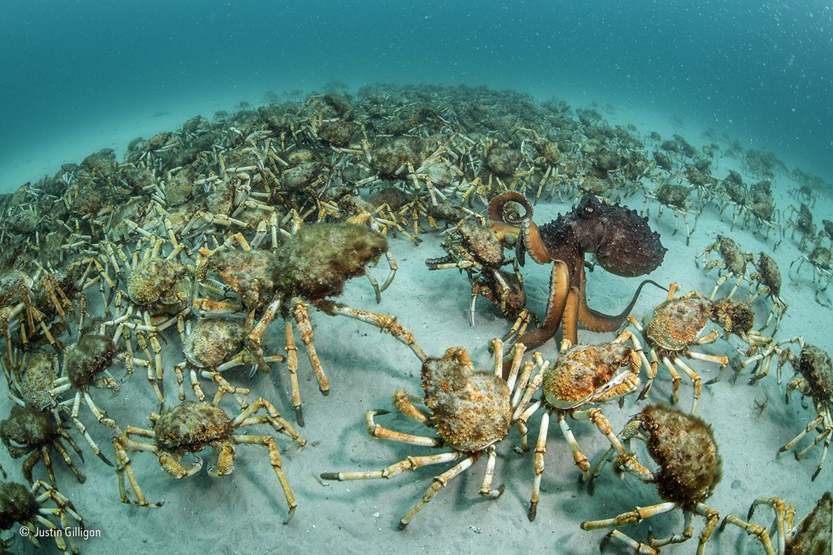 This gathering of giant spider crabs, the size of a football field, wandered past Australian photographer ...