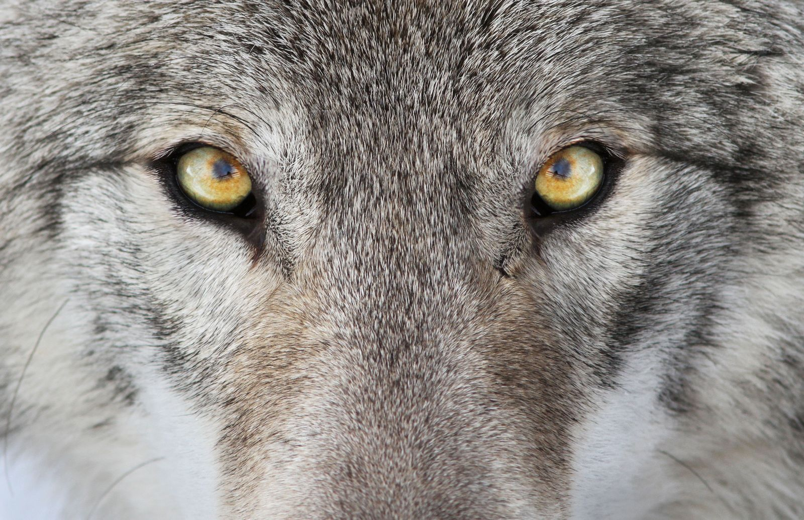 The reintroduction of wolves has always been controversial in the UK. Habitual pack animals, many believe ...