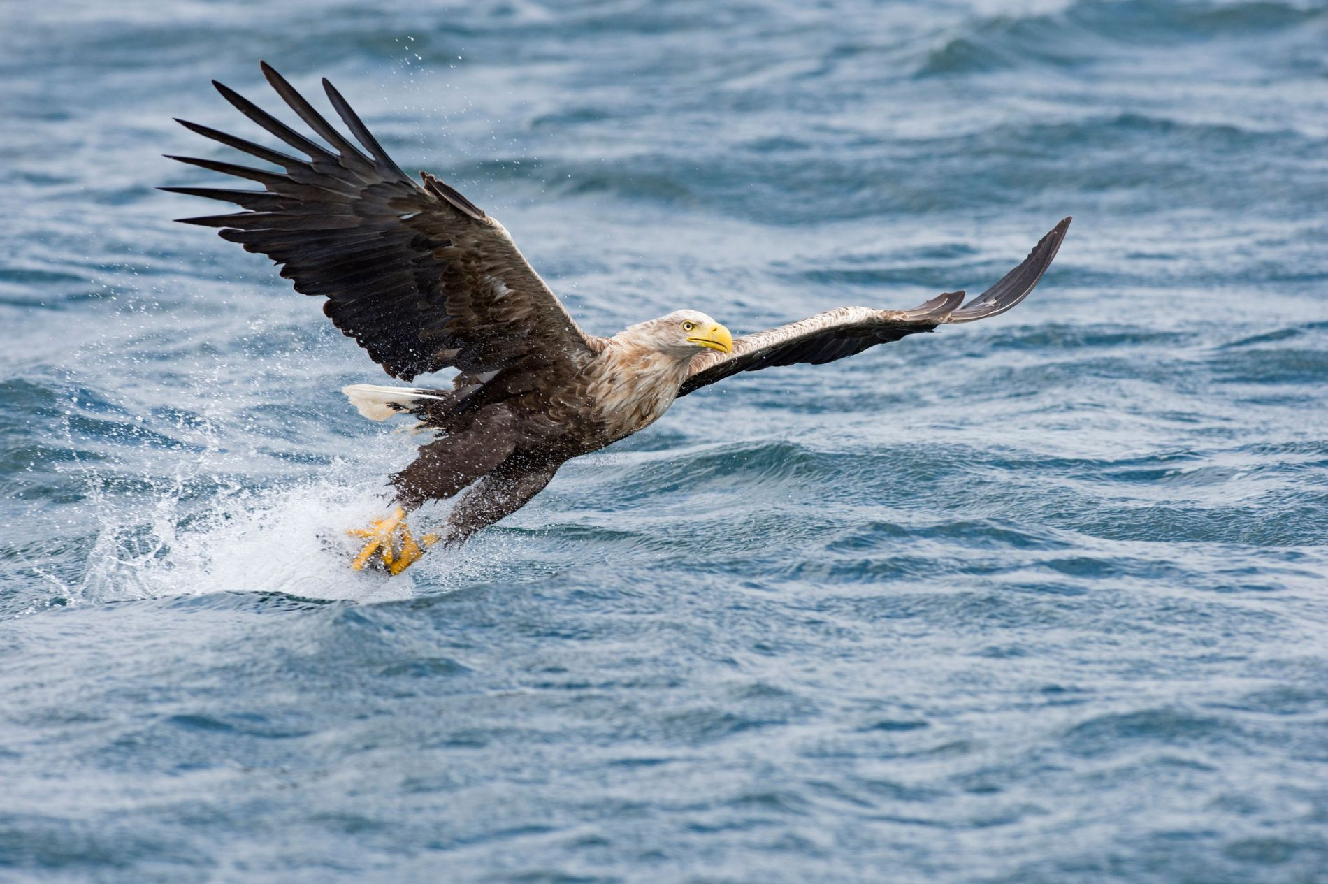 A white-tailed eagle off the coast of Mull, Scotland. It's sometimes called the sea eagle, given ...