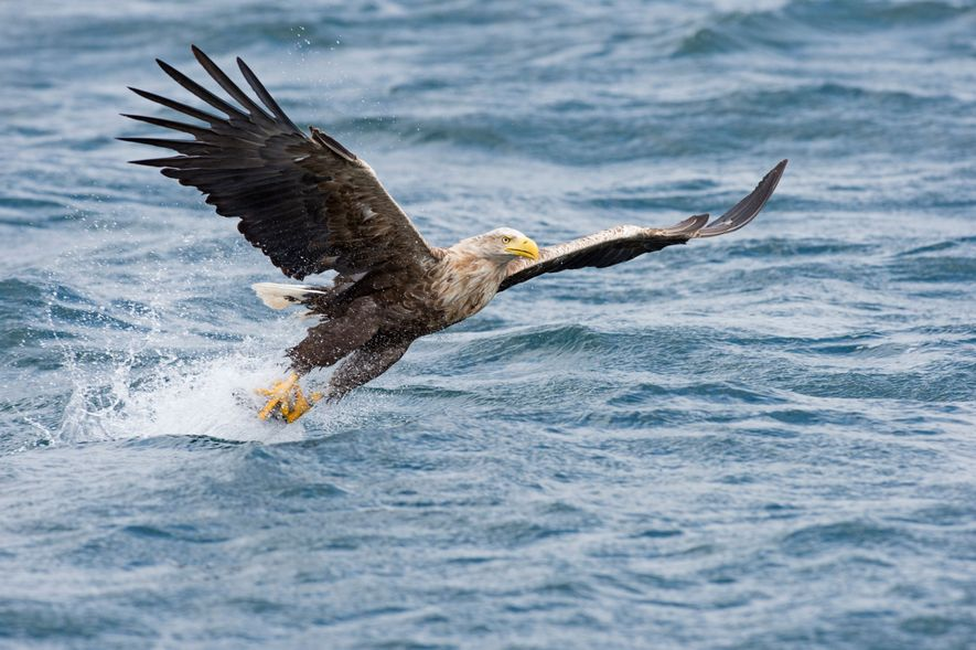 A white-tailed eagle off the coast of Mull, Scotland. Sometimes called the sea eagle, given its ...