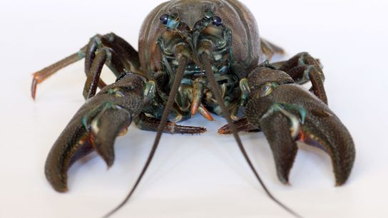 The Signal Crayfish is native to the Americas and Canada – but is now found is ...