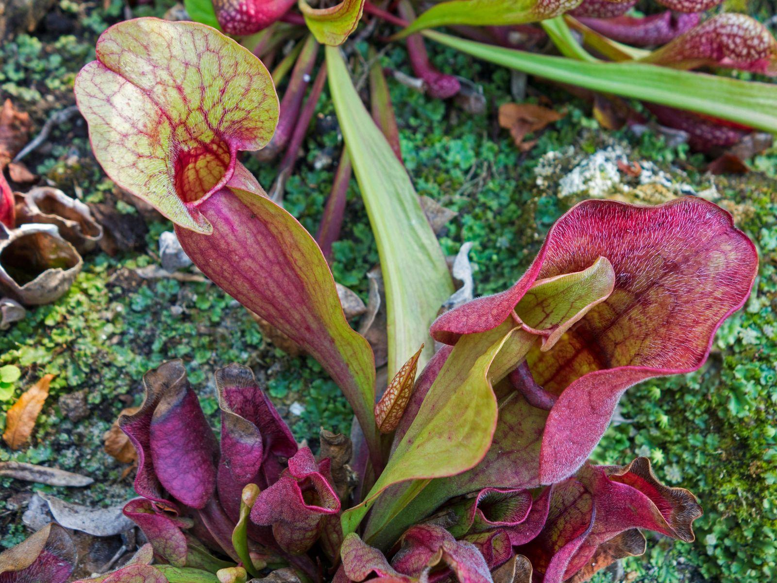The northern pitcher plant (Sarracenia purpurea) has a taste for salamanders.