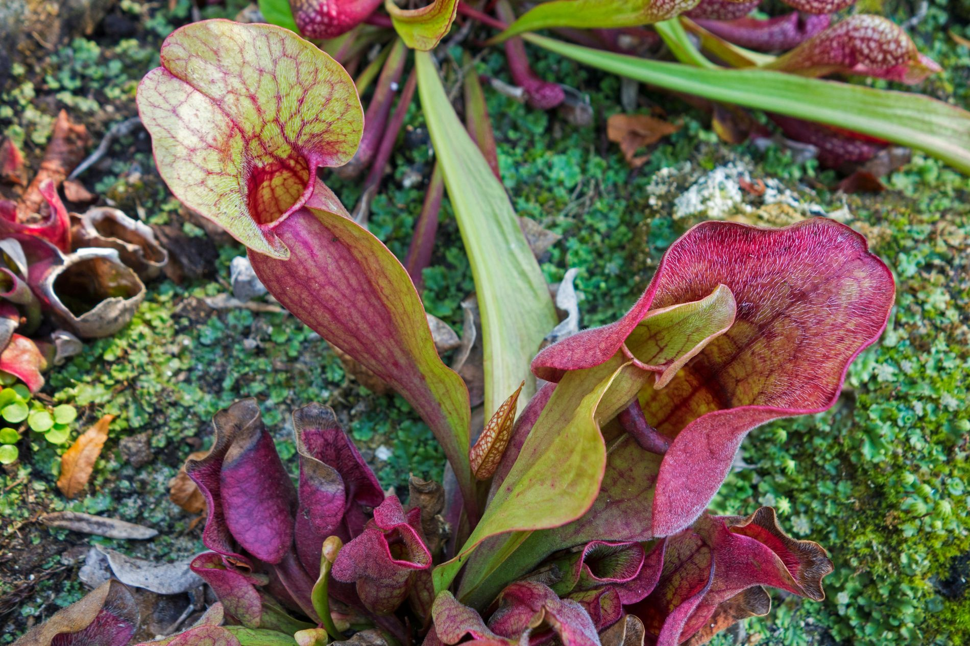 The northern pitcher plant (Sarracenia purpurea) has a taste for salamanders.