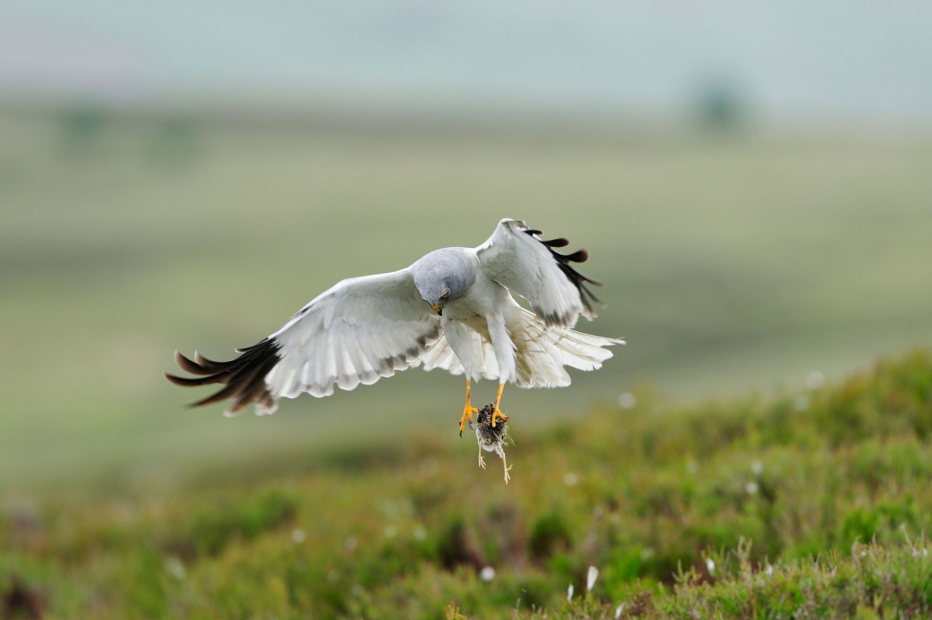 Hen Harriers typically feed on small mammals – but their diet does extend to birds.
