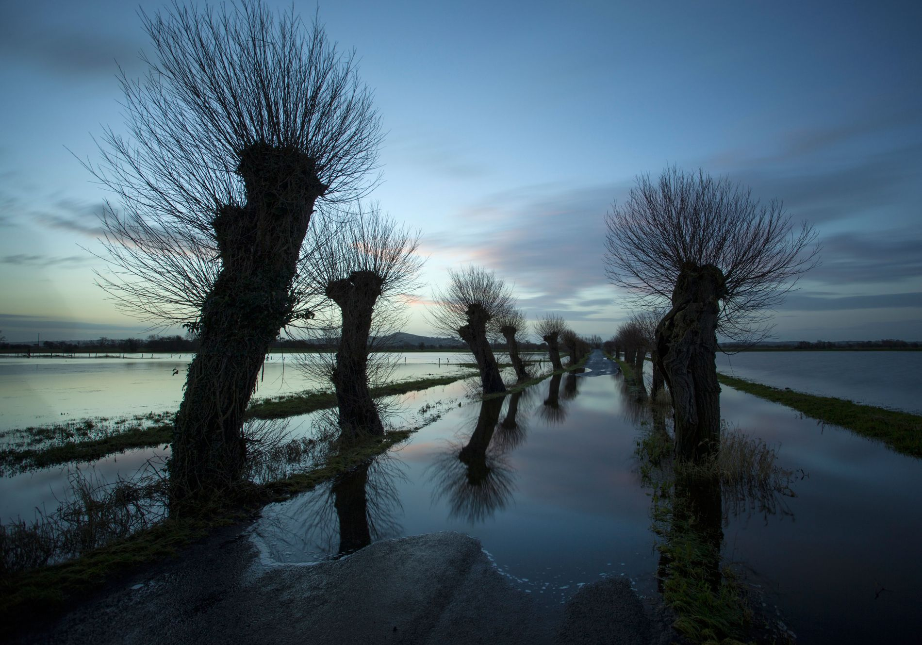 Willow trees at Godney near Glastonbury, with the Levels in flood. The tor is visible beyond.
