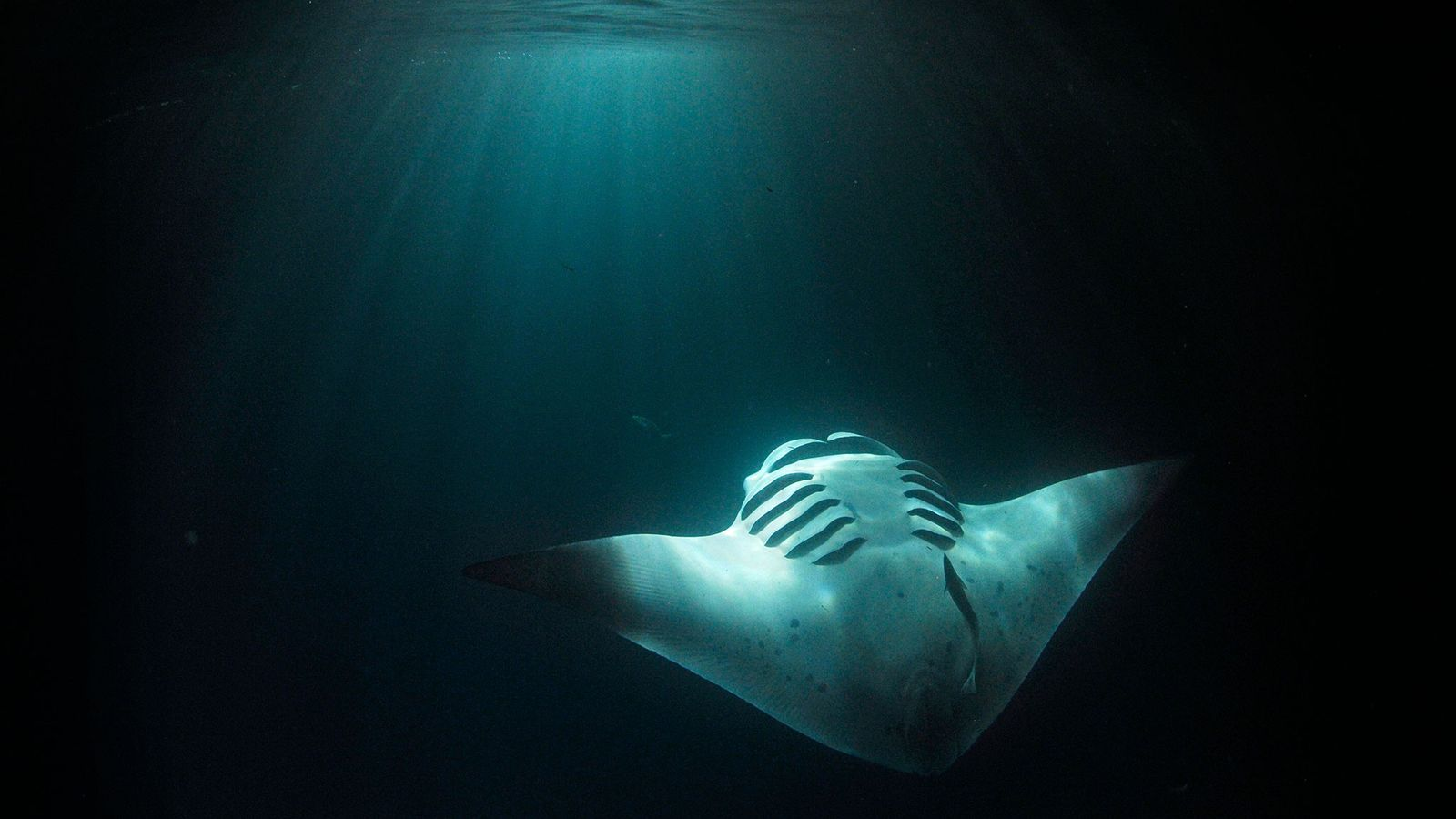 Illuminated by the light from the back of a tourist vessel in the Maldives, a juvenile ...