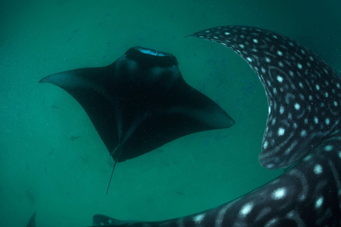 Framed by the massive pectoral fin of a whale shark, a feeding reef manta ray powers ...