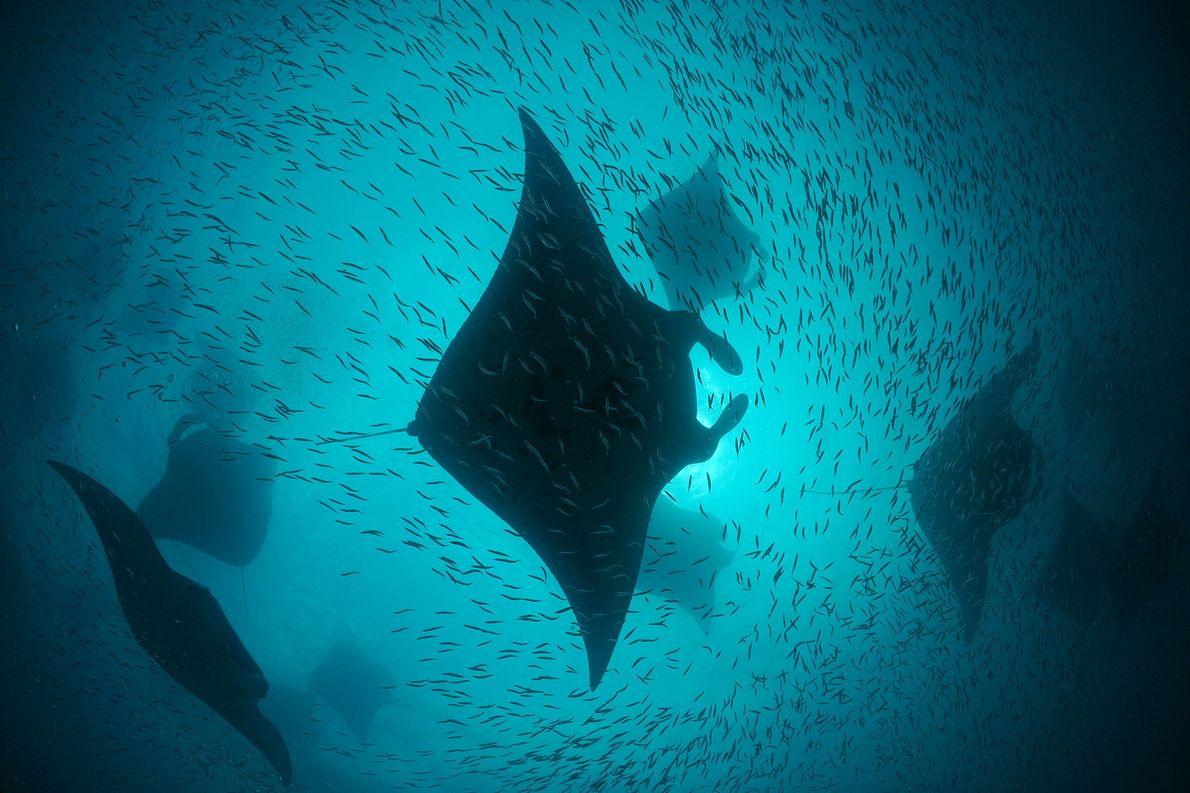 During the southwest monsoon season both mantas and enormous schools of baitfish feed on the microscopic …