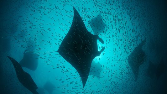 Inside the World of Manta Rays