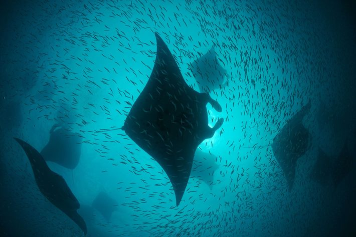 During the southwest monsoon season both mantas and enormous schools of baitfish feed on the microscopic ...