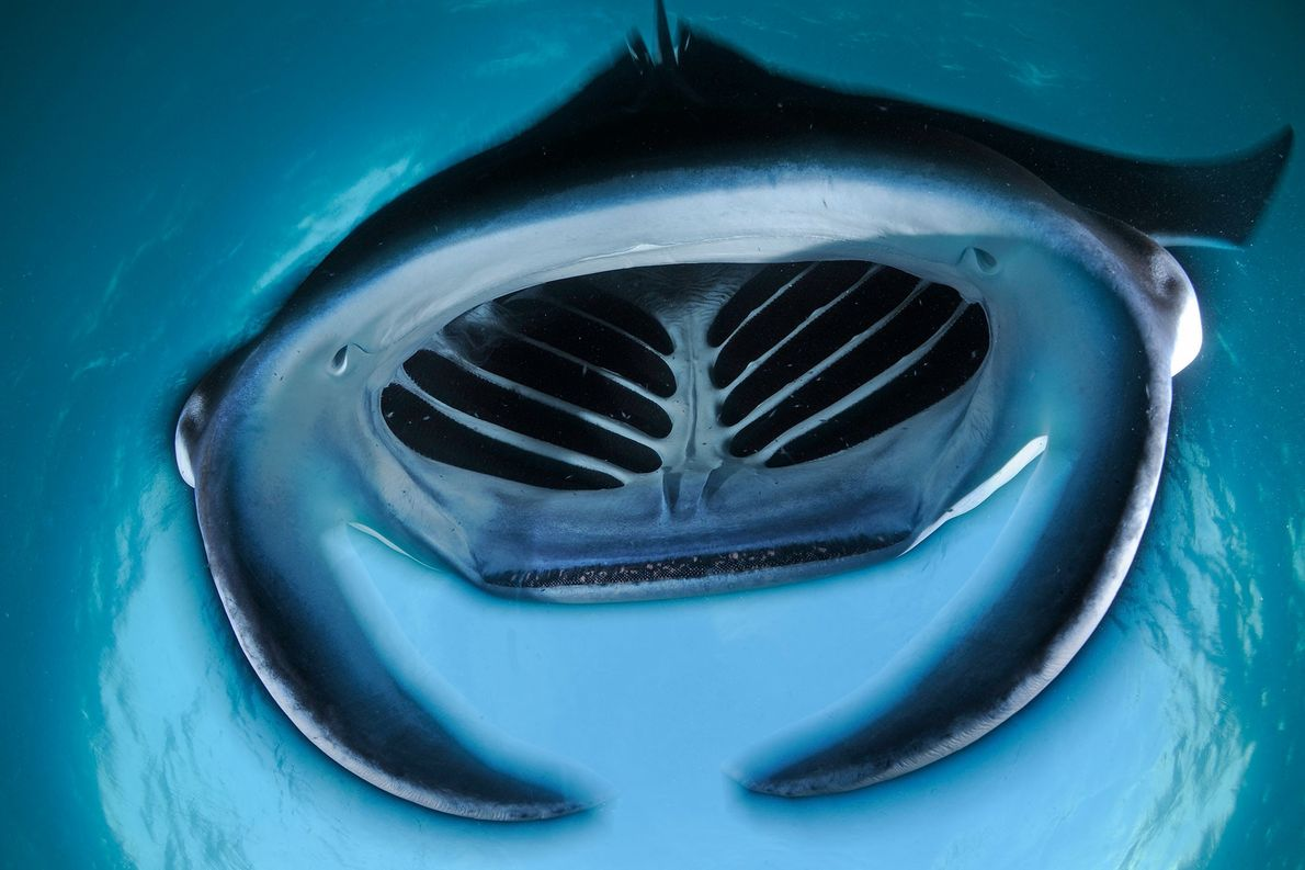 A giant mouth opens wide as a feeding reef manta somersaults backwards though the water in …